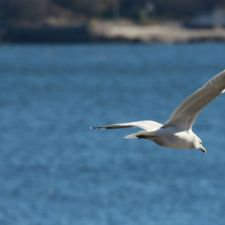 seagull-fly